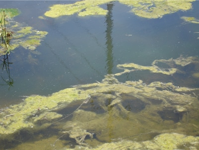 Snot Grass (filamentous algae)