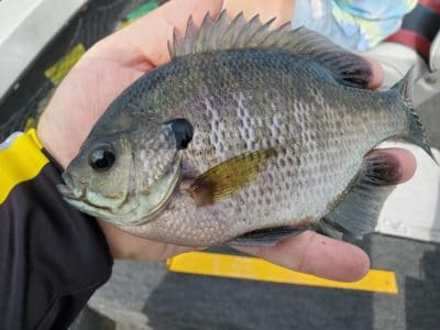 Lots of 7 and 8 inch bluegills. All released
