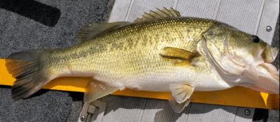 21 inch bass